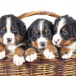 Bernese sennenhund puppies — Foto de Stock