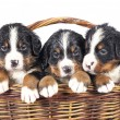 Bernese sennenhund puppies — Stock Photo