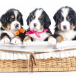 Bernese sennenhund puppies — Stock Photo #8759216