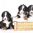 Bernese sennenhund puppies - Stock Photo