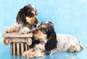 English Cocker Spaniel puppy — Stock Photo