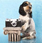 Family English Cocker Spaniel dogs — Stock Photo