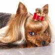Yorkshire terrier — Stock Photo #9113237