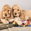 Stock Photo: Two puppy cocker spaniel