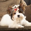 Biewer puppy — Stock Photo #9113441