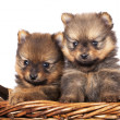 Stock Photo: Spitz puppies