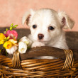 Puppy Chihuahua and spring flowers — Stok fotoğraf