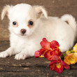 Puppy Chihuahua and spring flowers — Stock Photo