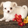 Puppy Chihuahua and spring flowers — Stock Photo #9113884