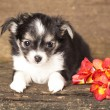Puppy Chihuahua and spring flowers - Foto Stock