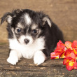 Puppy Chihuahuand spring flowers — Stock Photo #9113915