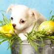 Chihuahupuppies — Stock Photo #9113951