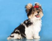 Biewer puppy — Stock Photo