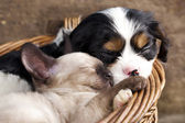 Spaniel puppy and kitten — Foto de Stock