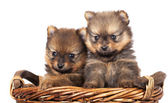Spitz puppies — Stockfoto