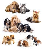 Kediler ve köpekler grup — Stok fotoğraf