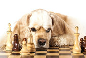 American Cocker Spaniel and chess figures — Stock Photo