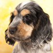 English Cocker Spaniel — Stock Photo #9312207