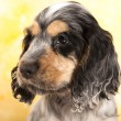 English Cocker Spaniel - Stock Photo