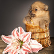 Miniature  puppy spitz - Stock Photo