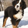 Stock Photo: Bernese sennenhund puppy