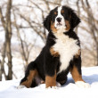 Bernese sennenhund puppy - Stock Photo