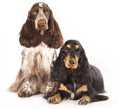 English Cocker Spaniel dog — Stock Photo