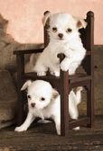 Puppy Chihuahua — Stock Photo