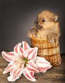 Miniature puppy spitz — Stock Photo