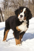 Bernese sennenhund puppy — Stock Photo