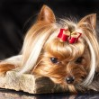 Yorkshire terrier — Stock Photo #9380921