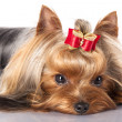 Yorkshire terrier — Stock Photo #9380944