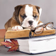 English Bulldog  and book — Foto Stock