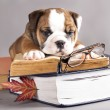 English Bulldog  and book — Stock fotografie