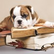 English Bulldog puppy and book - Stockfoto