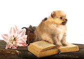 Puppy spitz and book — Stock Photo