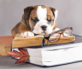 English Bulldog and book — Stock Photo