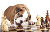 English Bulldog and chess — Stock Photo