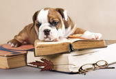 English Bulldog puppy and book — Stock Photo