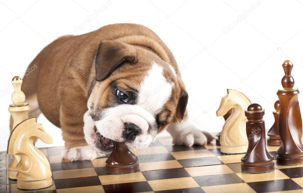 Puppy english Bulldog  and chess — Stock Photo #9380999