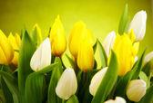 Photo of tulips — Stock Photo