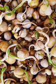 Sprouting mung bean seeds as a background and texture — Stock Photo