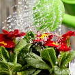 Close up on water pouring from watering can onto blooming flower - Stock Photo