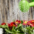 Close up on water pouring from watering can onto blooming flower
