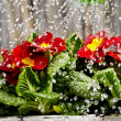 Close up on water pouring from watering can onto blooming flower — Stock Photo #9201398