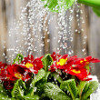 Close up on water pouring from watering can onto blooming flower — Stock Photo #9202308