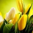 Yellow and white  tulip flowers with green  copy space - Photo