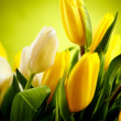 Yellow and white  tulip flowers with green  copy space - Lizenzfreies Foto