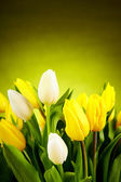 Yellow and white tulip flowers with green copy space — Stock Photo