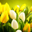 Yellow and white  tulips isolated on green background — Stock Photo